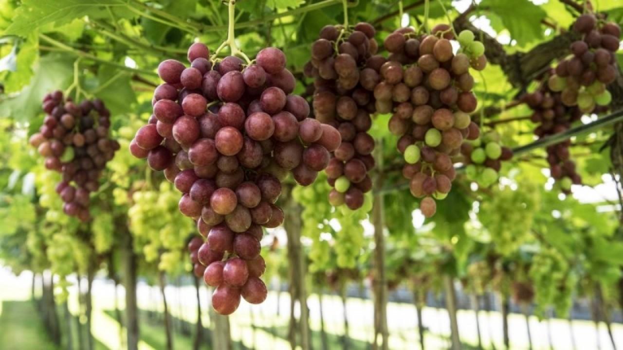 Safra de uva apresenta queda de 18,2% em relação a 2019